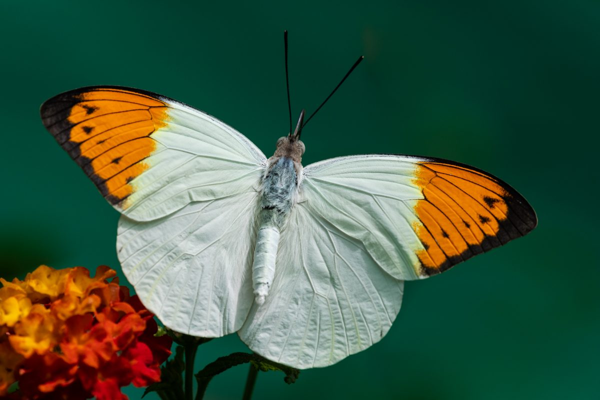 Permalink to:Great Orange-Tip Butterfly – Asia