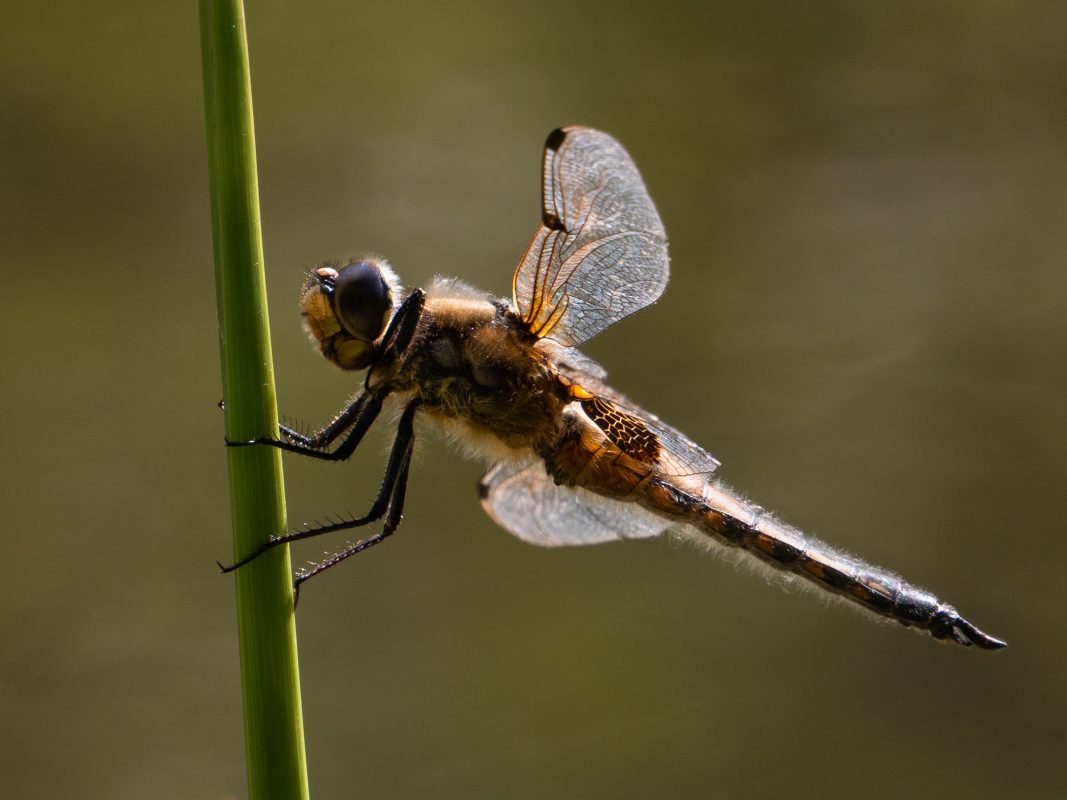 Permalink to:Four-spotted Chaser Dragonfly