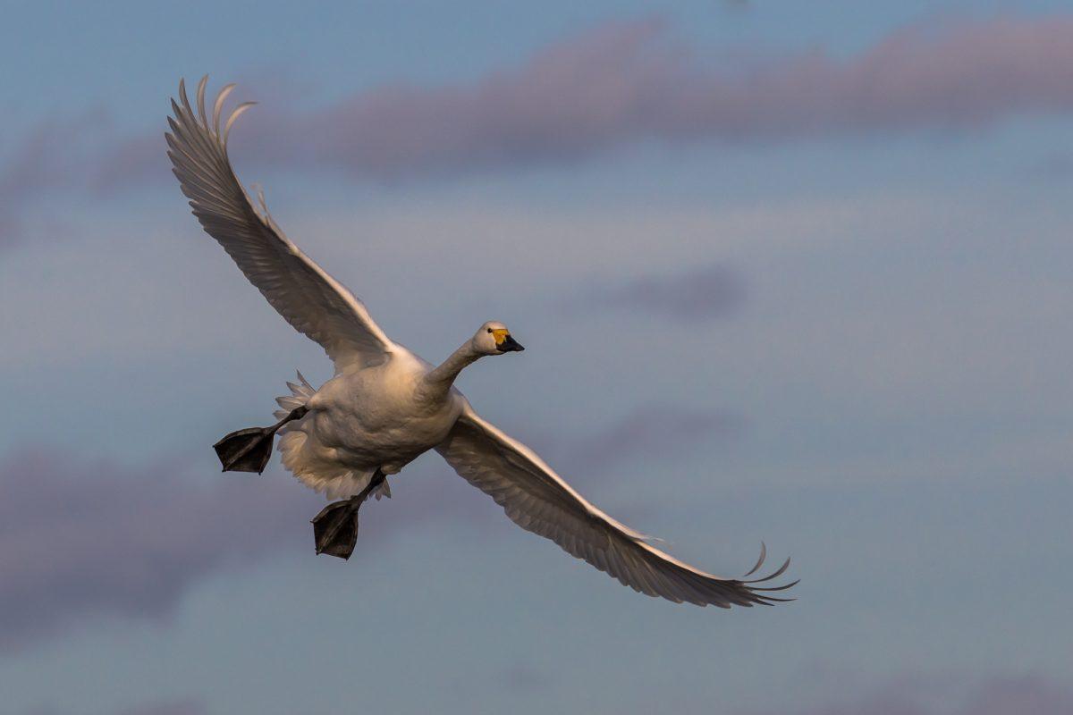 Permalink to:Berwick Swan
