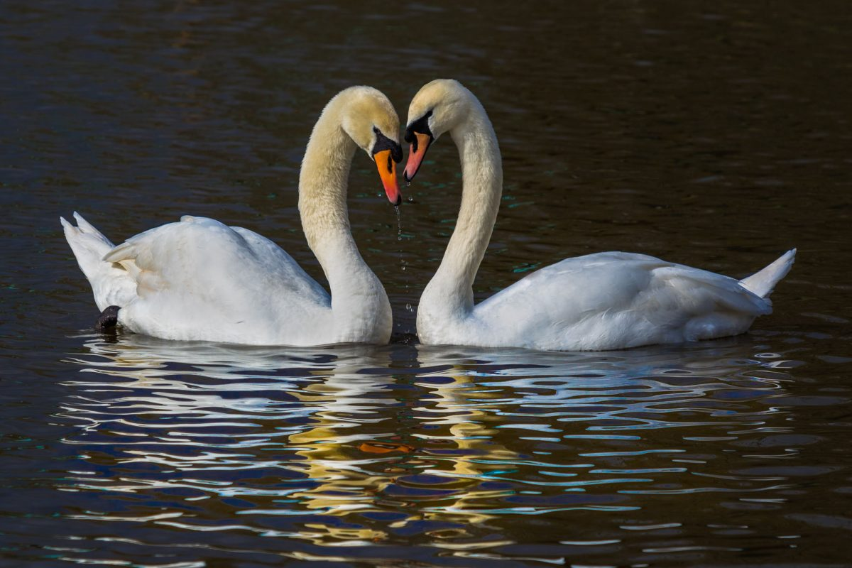 Permalink to:Mute Swans