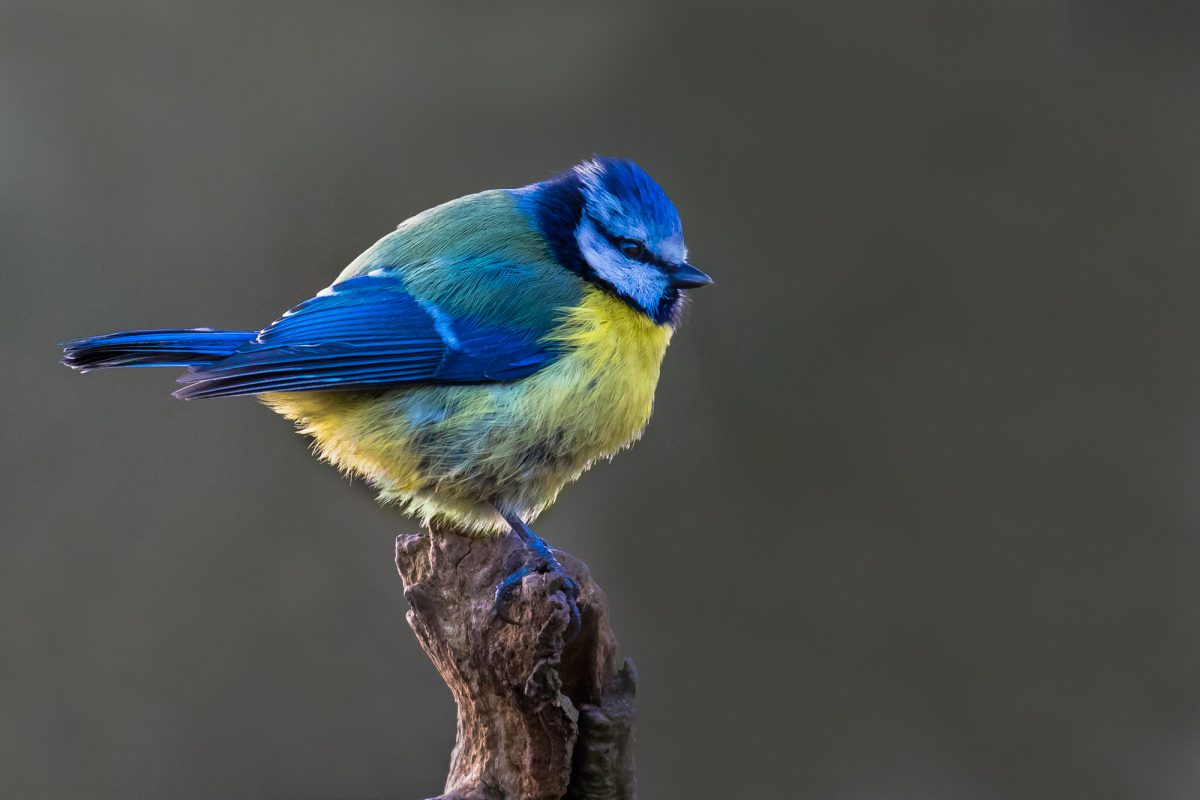 Permalink to:Blue Tit