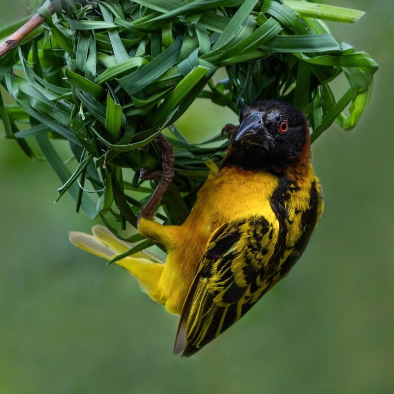 Permalink to:Village Weaver Bird