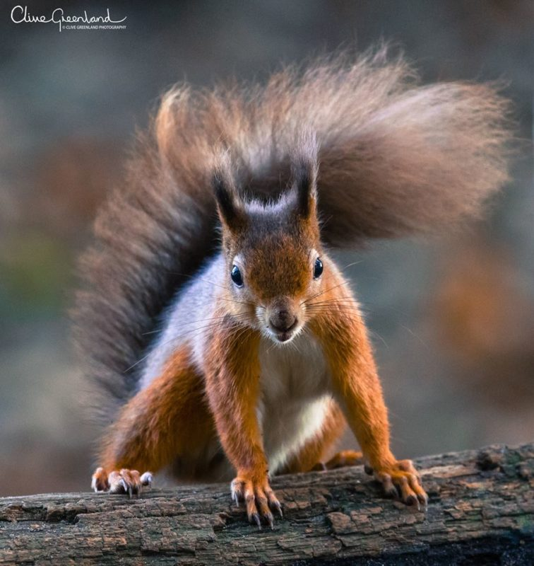 Permalink to:Red Squirrel – Brownsea Island, UK