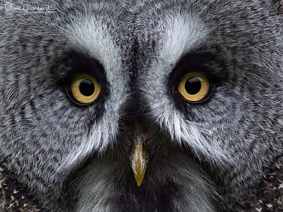 Permalink to:Great Grey Owl