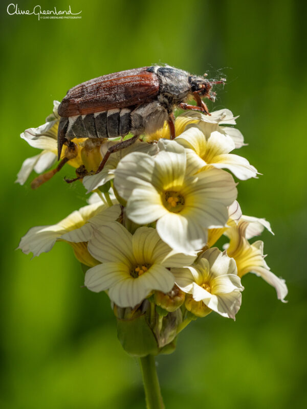 Permalink to:European Forest Cockchafer