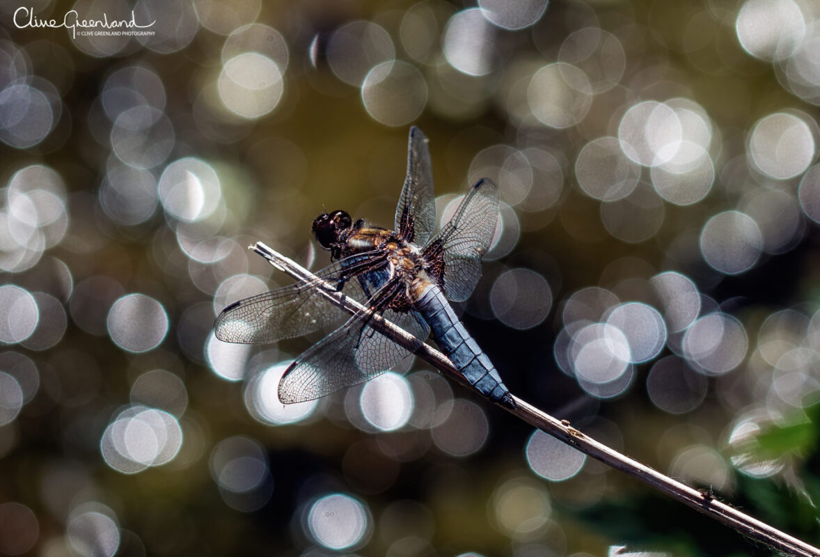 Permalink to:Broad bodied chaser