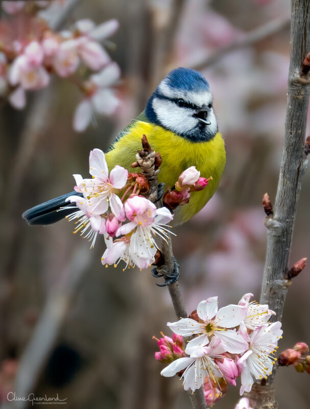 Permalink to:Blue Tit in Cherry Blossom Tree